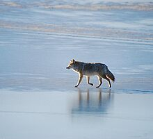 Coyote on Ice by blindwolfspirit