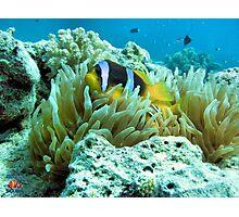 Clownfish Egypt Photographic Print