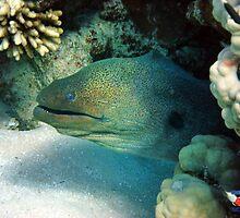 Moray Eel Sharm Egypt by Steve  Elliott