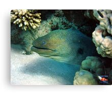 Moray Eel Sharm Egypt Canvas Print