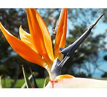 Bird of Paradise in California Photographic Print