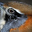 Great Necklaced Laughing Thrush by Luci Mahon