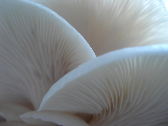 Oyster Mushrooms by May Lattanzio