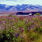 Tekapo - Summer by John Brotheridge