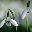 Snowdrops in Spring, County Kilkenny, Ireland by Andrew Jones