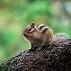 Siberian Chipmunk by Joseph Tame