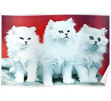 Three White Cats Poster