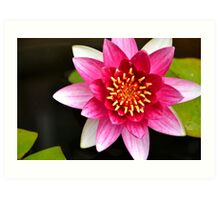 Pink Yellow Water Lily and Green Pads Floating on a Pond Art Print