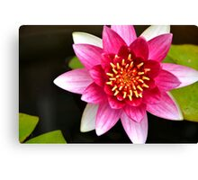 Pink Yellow Water Lily and Green Pads Floating on a Pond Canvas Print