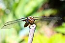 Male Broad Bodied Chaser Dragonfly - Front View by missmoneypenny