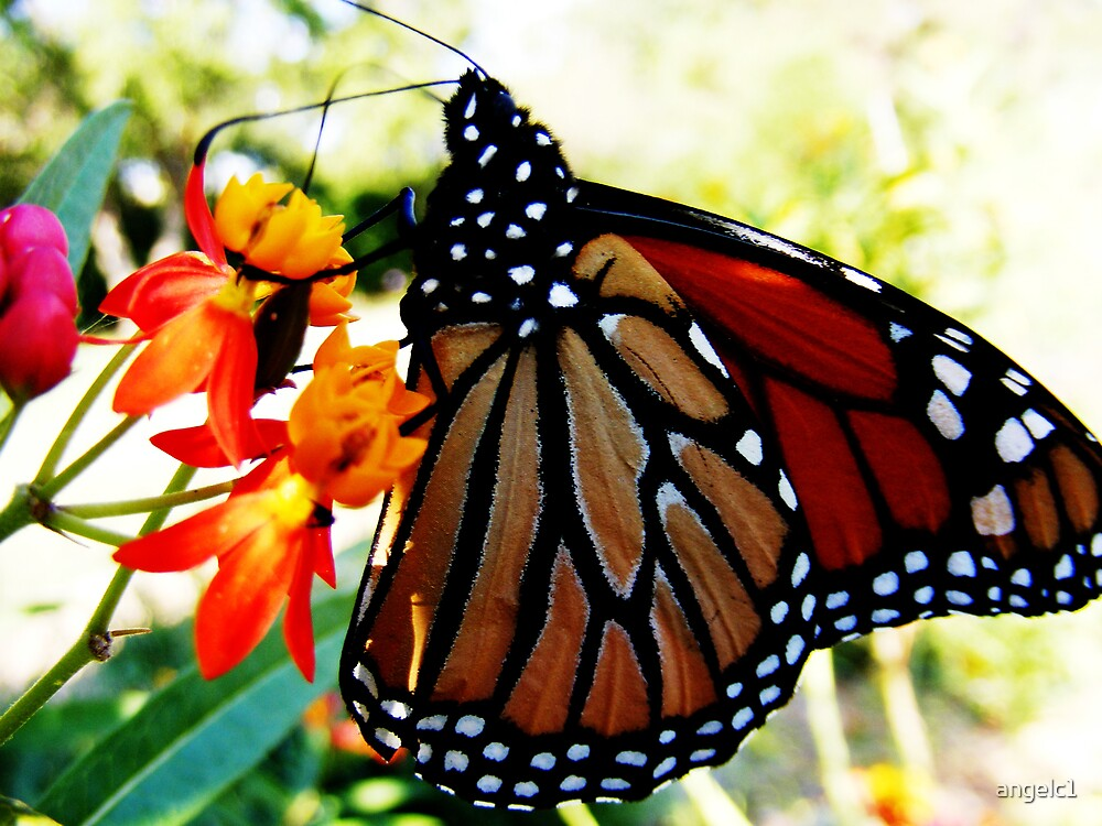 Monarch Butterfly by angelc1