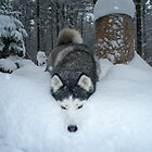 Snow Dog by DIANE KLEVECKA