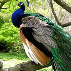 peacock perched in a tree by 1busymom