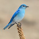 Perched Mountain Bluebird by Eivor Kuchta