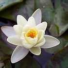 Water Lily II by Stephen Beattie