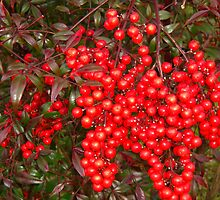 red berry bush by talindsey