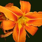 Orange Day Lily by L J Fraser