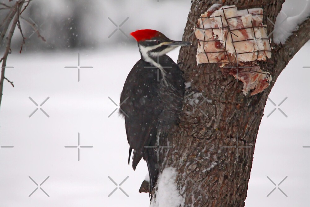 Pileated Woodpecker by Vickie Emms