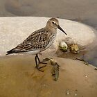 Sandpiper by Kat Simmons