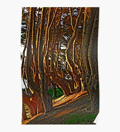 Coastal Cypress Grove at Sunset Poster