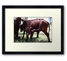 Cow Aerobics Framed Print