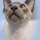 Blue-Point Siamese by Sally Green