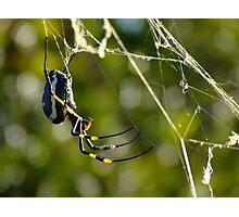 Bushveld Spider Photographic Print