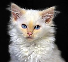 Cream Siamese Kitten by Catherine Sherman