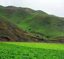 California Lettuce Fields by J.  Roberts