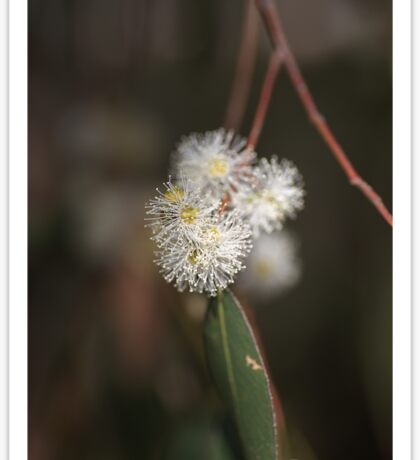 Flowering Eucalyptus Sticker
