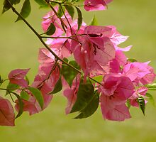 Bougainville by cieloverde