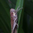 a little wet very large grasshopper by Jeannine de Wet