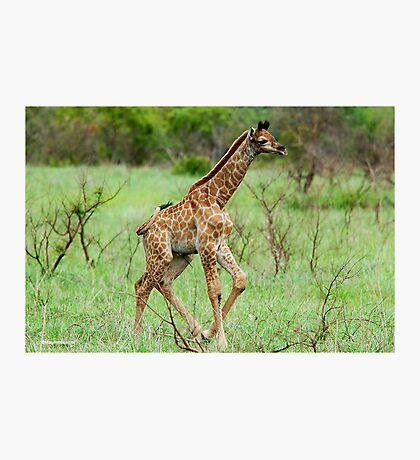 WAIT FOR ME - THE BABY GIRAFFE – Giraffa Camelopardalis (KAMEELPERD) Photographic Print