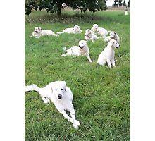 Maremma Sheepdogs Enmasse Photographic Print