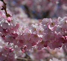 Early Spring Blossoms by Lena127