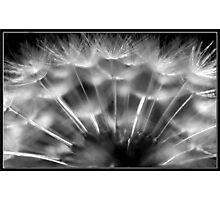 B&W Dandelion Photographic Print