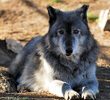 Timber Wolf - Zeus by Bill Miller