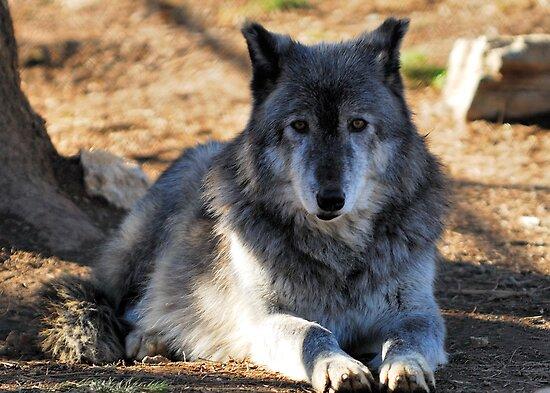 Timber Wolf - Zeus by Bill Miller