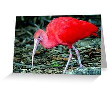 Red Ibis Greeting Card