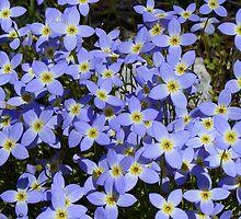 Springtime Bluets by Karen Kaleta