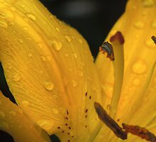 Dewy Day Lily by Bill Spengler