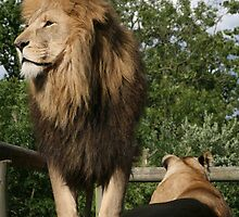 The Lion and his lioness by RejoDoal