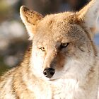 Coyote by Paul Crossland
