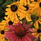Echinacea & Black-Eyed Susan by Bill Spengler