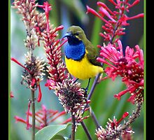 Sunbird by Holly Kempe