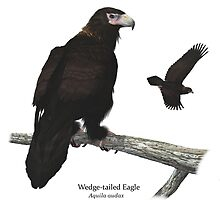 Wedge-tailed Eagle by Ken Gilliland
