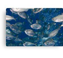 Scad Fish Canvas Print