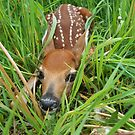 Newborn Fawn - R by Molly  Kinsey