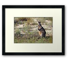 Swamp Wallaby Framed Print