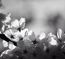 Translucence in Black and White by Tracy Friesen